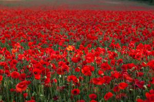 field-of-poppies-stuart-gennery